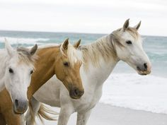 Horses on the beach Photographic Print - at AllPosters.com.au