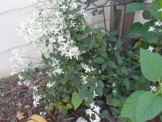 My Almond White Clematis...