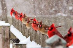Northern Cardinals - 51 Best Winter Bird Photos Ever - Birds and Blooms Pretty Birds, Love Birds, Beautiful Birds, Animals Beautiful, Buy Birds, Hirsch Illustration, Bird Netting, Mesh Netting, Image Nature