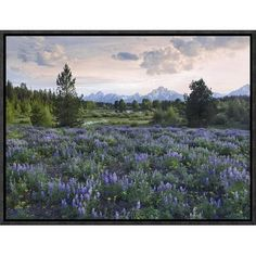 Global Gallery Lupine Meadow, Grand Teton National Park, Wyoming by Tim Fitzharris Framed Photographic Print on Canvas Size: