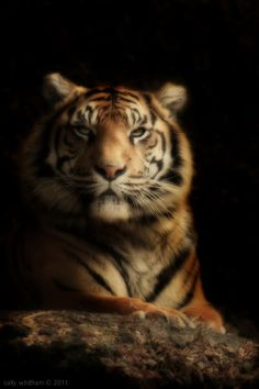 Tiger - Photography by cally whitham