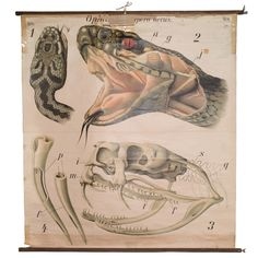 Anatomical Chart of Snake (Germany), circa Studio Ghibli, Science Art, Science Nature, Science Ideas, Reptiles, Serpent Venimeux, Eiko Ojala, Impression Offset, List Of Animals