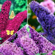 https://gradinamax.ro/ - Super-ofertă! Set de Buddleja de 3 soiuri