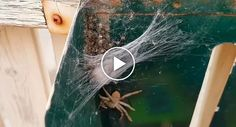 Woman Opens Letterbox To Find Huntsman Spider And HUNDREDS Of Her Babies Crawling Inside