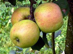 Wintergoldparmäne Frankreich, aus dem Mittelalter mittelgroße, rotgestreifte Frucht, süß-säuerlich, Verwendung: als Tafelapfel, mittelstarker Wuchs