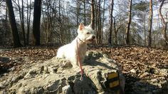 West Highland White Terrier Nelly