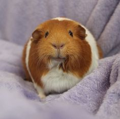 Baby Guinea Pigs, Animal Magnetism, Cute Piggies, Strange Photos, Cuddle, Cute Pictures, Angels, Cute Animals, Smile