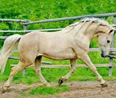 There's one cream line in the Canadian Horse breed. Palomino Canadian horse stallion, Sarrabelle Pharraud Kondor. The Canadian Horse Breeders Association's naming rules are very strict. The sire's name must be in the middle. This stallion's smoky black sire is Jonathan Coco Pharraud.