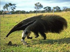 Unfortunately, the giant anteater is more an animal threatened with extinction due to the fact that man is destroying their habitat. The factors that have contributed to this are: the indiscriminate hunting, burning (and your hair is extremely flammable) and the advancement of agriculture in the cerrado (ecosystem that, being very open, has no places where the giant anteater can hide) .