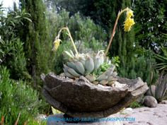 "Suculenta em vaso de pedra. Jardim da "" Casa Catita""- Algarve"