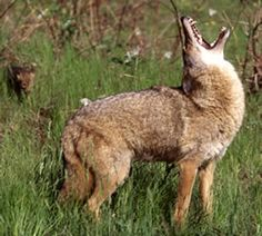 Coyote (Canis latrans).  Despite their reputation, these animals are beneficial to a healthy wildlife ecosystem.  They also target some animals we find a nuisance (at best) such as mice and rats.  Click the picture for viewing and safety tips.