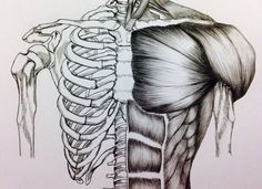 Torso Bone/Muscle Study by BillyDoubleU.deviantart.com on @DeviantArt