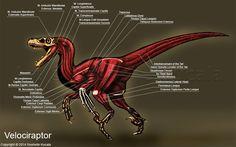 Velociraptor Muscle Study by TheDragonofDoom.deviantart.com on @DeviantArt