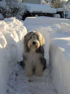 Chess Bearded Collie - Winter time | Flickr - Photo Sharing!