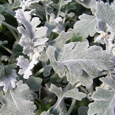 Dusty Miller Green Filler Flower $129.99/10 bunches-100 stems // $179.99/20 bunches-200 stems