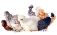 Bantam chickens lay edible eggs. About three to four bantam eggs are equal to two standard eggs. Many prefer them as they contain more yolk and less white.