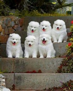 Samoyed puppies or real life teddy bears.Do you love cute dogs like. Cute Baby Animals, Animals And Pets, Funny Animals, Samoyed Dogs, Pet Dogs, Doggies, Cute Dogs And Puppies, I Love Dogs, Adorable Puppies