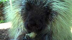 Teddy Bear, the Porcupine, Cools Off with a Frozen Banana. How cute is he???