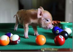 Heartwarming Pictures of Baby Pigs Cute Baby Pigs, Cute Piggies, Cute Baby Animals, Farm Animals, This Little Piggy, Little Pigs, Funny Pig Pictures, Teacup Piglets, Baby Piglets