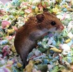 Kiki is an adoptable Hamster Hamster in Milwaukee, WI.  ...