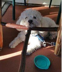 Maltipoo Dog For Adoption in Burbank, CA, USA