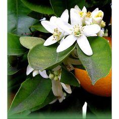FLOR de Azahar. 30 Gr. en Bolsa Precintada. Hierba Medicinal para Relajarse.