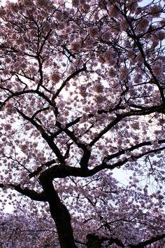 A beautiful skyward shot of the cherry blossoms! #youW