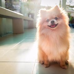 pomeranian spitz smiling watch the evening sun.