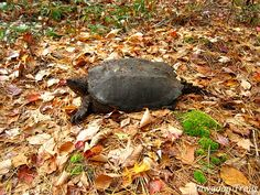 A snapping turtle (Chelydra serpentina) at Yawgoog's Deer Cove campsite in fall.  A 2014 image by David R. Brierley.