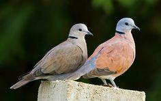 Red Collared Dove [ Female Lt. Male Rt. ] ( Streptopelia tranquebarica )