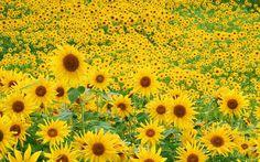 Sun Flowers Field