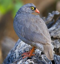 Red-billed Francolin (Francolinus adspersus)