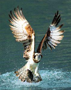 Osprey fishing ... Beautiful wingspread!