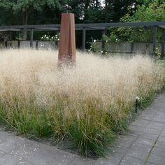 Deschampsia cespitosa 'Bronzeschleier' - Wald-Schmiele :: Gräser :: Eher schattige Standorte, sommerblühend, hellgelblich