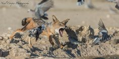 Jackal Attack by Neal Cooper on 500px