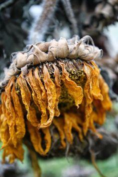 Tournesol abandonné par l'été... / Sunflower.