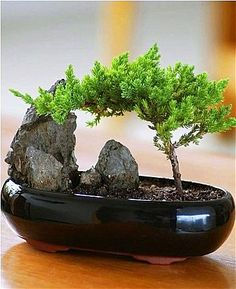 A work of living art, the Juniper bonsai brings beauty and peace to any setting. Our carefully trained specimens are easy to care for.