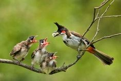 Red whiskered Bulbul feeding young ones