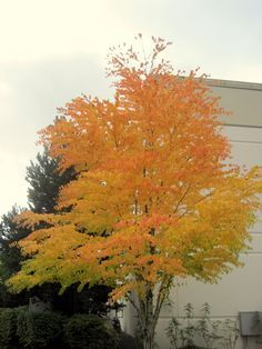 Katsura Tree...beautiful fall color and fallen leaves smell like cotton candy or burnt sugar
