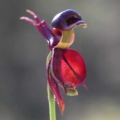 The Flying-Duck Orchid: Caleana major. Found in Queensland, New South Wales, Victoria, Tasmania, South Australia and New Zealand as a miniature to small sized cold to warm growing terrestrial in sand and sandstone soils in heathlands and open forests.