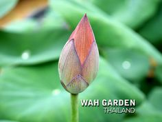 Fen Jing Ling lotus 4 | by Klong15 Waterlily Jing Ling, Nelumbo Nucifera, Water Lilies, Lotus, Garden, Plants, Lotus Flower, Garten, Lawn And Garden