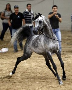 El Chall WR !!!  North Arabians  This stallion just takes my breath away!