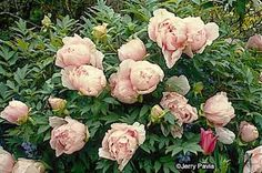 Oh, how I would dearly love one of these beauties in my garden.  The Tree Peony.