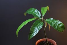 Manguier I Shop, Plant Leaves, Plants, Mango Tree, Plant, Planets