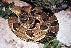 Texas Parks and Wildlife page full of information and clear photos of venomous snakes in Texas. Texas Snakes, Colorful Snakes, Texas Parks, Snake Venom, Kids Events, So Little Time, Outlander, Mammals, Exotic