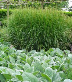 Stachys byzantina 'Silver Carpet' – winter'groene' bodembedekker, grijsgroen bladig, .30 hoog, een vaste plant die het vooral op zandgrond goed doet, kan wel op andere grondsoorten.