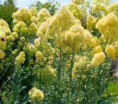 In early spring, Yellow Meadow Rue is prominent because of its striking clumps of blue-green foliage. Then, in June and July, clusters of bright yellow flowers on 6–7′ stalks complete the picture. Downwind, you will notice the blooms' sweet fragrance. This tall but graceful perennial won an Award of Garden Merit from the Royal Horticultural Society, and deserves wider use in gardens.This genus in the amazingly diverse Buttercup family includes some 130 species, most of them northerners. The…