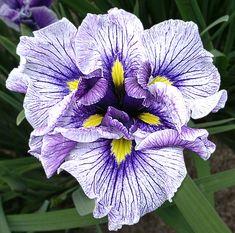 Japanese iris Christina's Sister from Ensata Gardens.