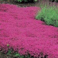 Red Creeping Thyme just a few inches high, the plant is densely covered with tiny, dark green, shiny leaves that are intensely aromatic when crushed -- plant them between paving stones and enjoy their fragrance every time you pass by.  Evergreen in the South, semi-evergreen in the North. Plant 12 to 15 inches apart in full sun and well-drained soil. Zones 4-8.