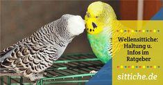 Wellensittich A-B-C melopsittacus undulatus Für alle, die mehr wissen wollen. Ein kompletter Leitfaden zur Haltung + Pflege von Wellensittichen als Haustiere! Schön, dass du hier gelandet bist, mach nicht gleich einen Sittich, sondern schau dich in Ruhe um. Ein Welli,… Parrot, Bird, Animals, Budgies, Pets, Nursing Care, Knowledge, Health, Parrot Bird